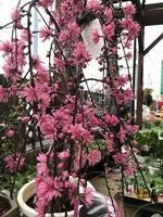 2019年4月13日菊桜.jpg