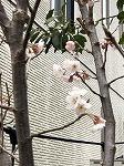 2020年3月サクランボの花.jpg