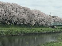 s-2020年3月28日北越谷桜 (1).jpg